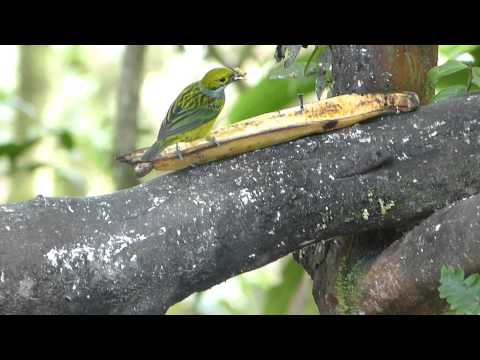 Silver-throated Tanager, Golden Tanager, Blue-gray Tanager by Charlie Vogt