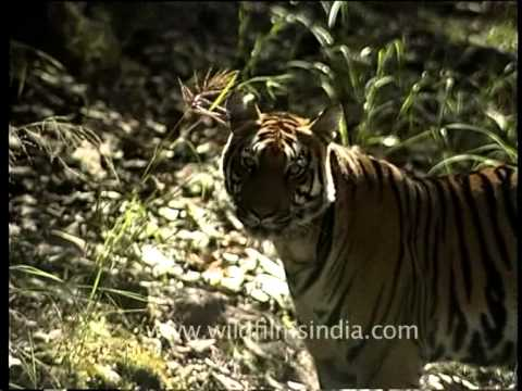 Tiger disappears into the bush as we film in central Indian jungles