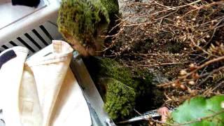 2011 Kakapo chicks
