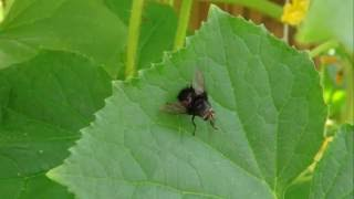 ⟹ LOOK AT THIS FAT LITTLE #FLY!! can anyone tell what this is???? HD1080P 🐝