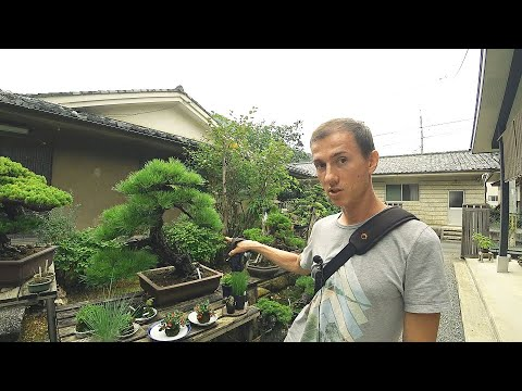 Куда водят туры в Японию. Дерево по цене автомобиля| Киото| Япония