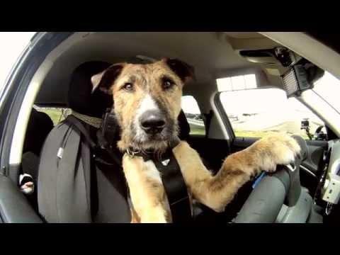 Pierwszy na świecie pies-kierowca