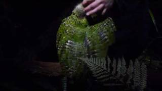 Sirocco the Kakapo on Ulva Island