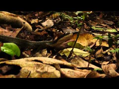 Common Bird Eating Snake in the Yasuni