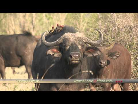 Buffalo's grazing HD – South Africa Travel Channel 24 – Wildlife
