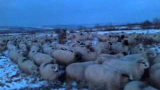 Over 1000 sheeps go up on the mountain