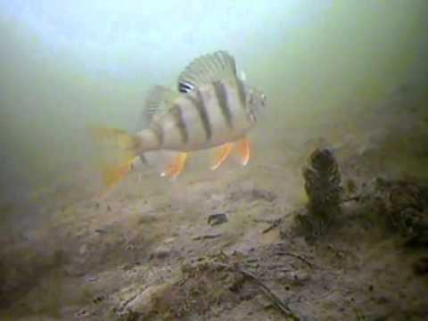 окунь зимой на блесны подводная съемка