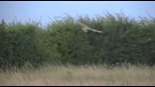 Surprise (Summer) Short-eared Owl Encounter