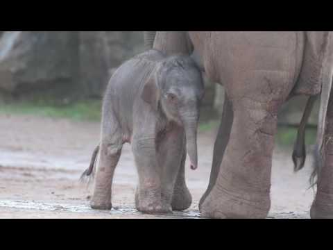 At just hours old, Chester Zoo's beautiful Asian elephant calf takes her first steps outside