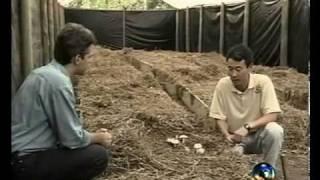 Cogumelo Agaricus blazei - cogumelo do sol - Fazenda Guirra   Carlos Abe.avi