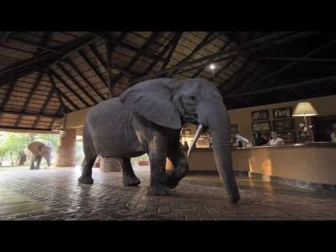 Elephants of Mfuwe Lodge