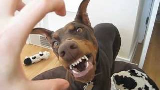 BEWARE: Vicious Doberman