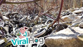 Hundreds of Large Garter Snakes in Den || ViralHog