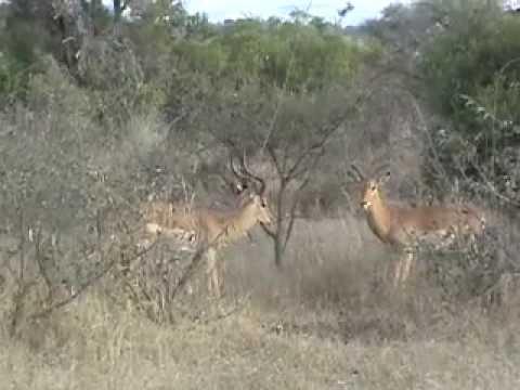 Battle at Kruger – Impalas