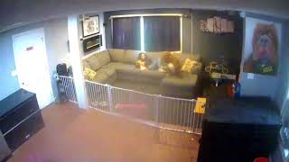 INSANE! 180lbs pit bull HULK PROTECTS home invasion security camera video CCTV