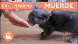 ¿Cómo educar a un gato pequeño que muerde? - ¡Pautas efectivas!