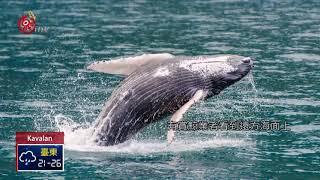 賞鯨喜見大翅鯨母子 幼鯨下顎纏網惹憐 2018-04-04 Kavalan TITV 原視族語新聞