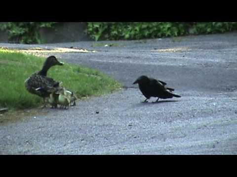 Mama Duck Fights Crows Attacking Baby Ducklings