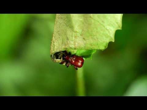 捲葉象鼻蟲 產卵和捲葉 Paratrachelophorus HD - YouTube