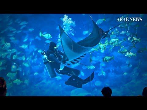 Manta rays perform in the Singapore aquarium