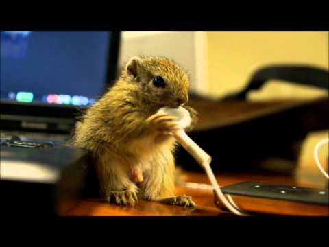 Wiewiórka sieje spustoszenie w biurze
