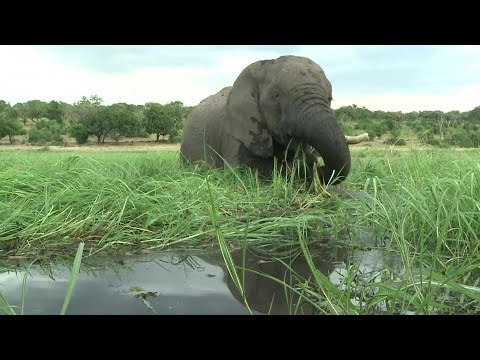 Cause of Death Found for 300 Elephants in Botswana
