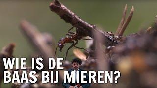 Wie is er de baas bij mieren? | De Buitendienst over wie de baas is