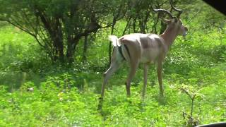 Impala Farting in Kruger