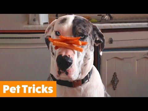 Funny Pets Doing Tricks   Funny Pet Videos