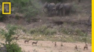Watch & Listen: Elephants Protect Their Baby From Wild Dogs | National Geographic