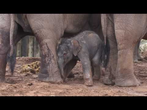 A one-day-old elephant calf takes his first tiny steps at Chester Zoo!