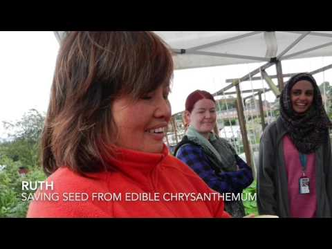 Saving edible Chrysanthemum seed