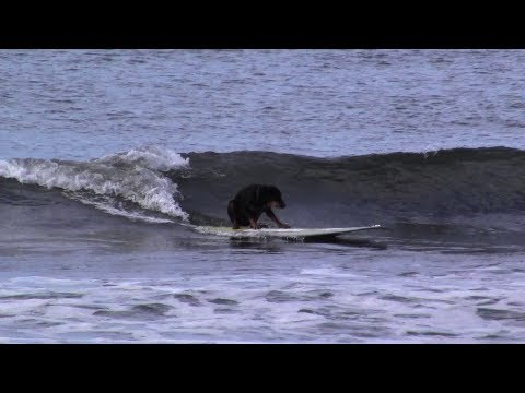 Rocco the Rottweiler Rides a Green Wave
