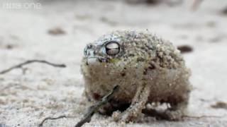 Angry Squeaking Dominodyl