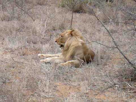 Shimon braff Tanda Tula – Lion (1)