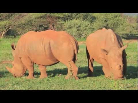 Rhinos grazing in the field – spinning around the world