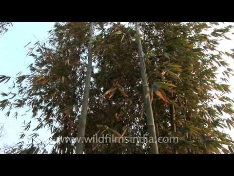 Bamboo plants in Reiek Tlang, Mizoram