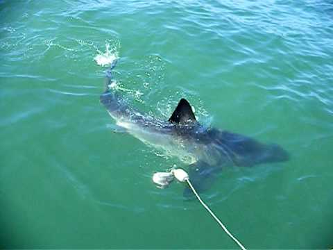 Wow! A great white shark