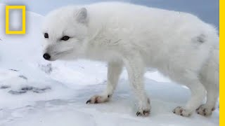 A Friendly Arctic Fox Greets Explorers | National Geographic width=