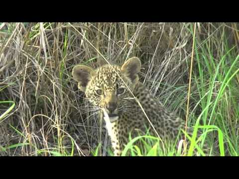 Leopard and cubs at Arathusa