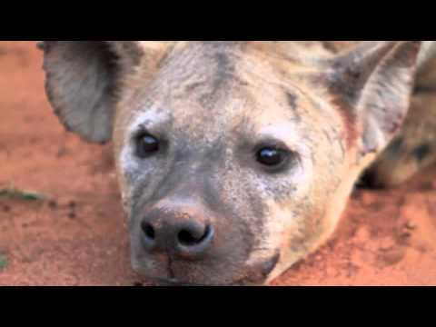 Rhinos and Spotted Hyenas on Safari – spinning around the world