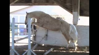 Kote D' Or 2009 Palomino Dutch cross mare. First time free jumping. 1/14