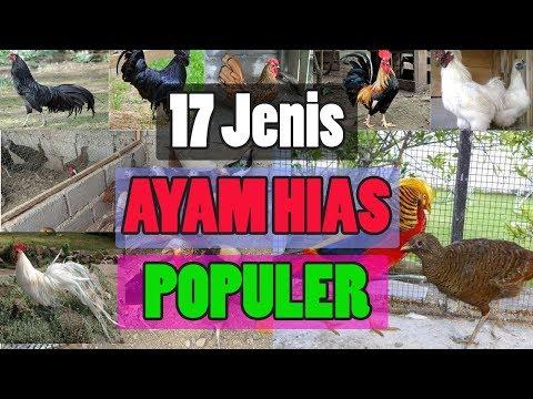Download Video 17 Jenis Ayam Hias Populer Indonesia