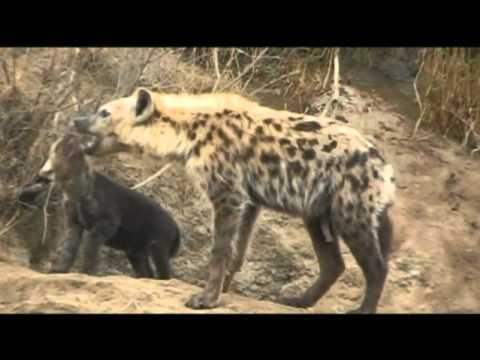 Hyenas of Sabi Sands, South Africa