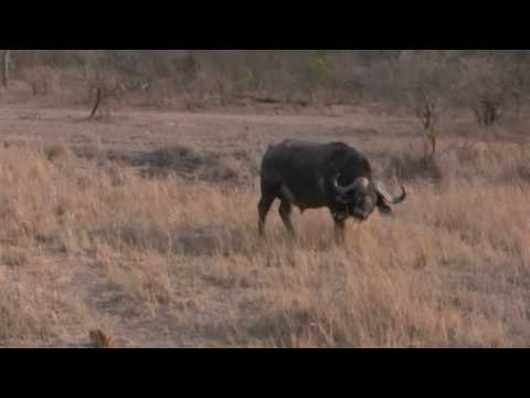 Water Buffalo at Elephant Plains Game Lodge, South Africa HD