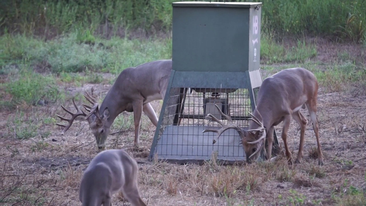 Whitetail Bucks at Feeder