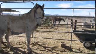 Olaf - 6yo BLM Mustang - Training Day 1