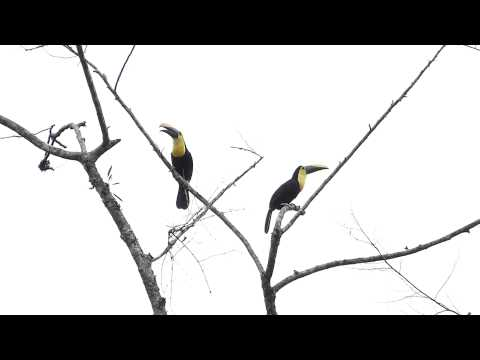 Choco Toucan vocalizing by Charlie Vogt