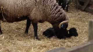 Kentwell Hall Lambing by Chris Tarrant