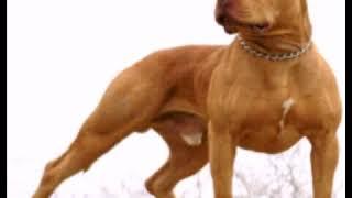 10 Razze Di Cani In Grado Di Battere Il Pitbull